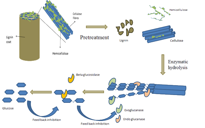 actions of cellulases